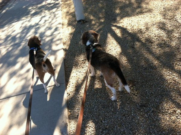 2 beagles in the shade