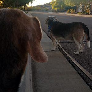 2 beagles at dusk