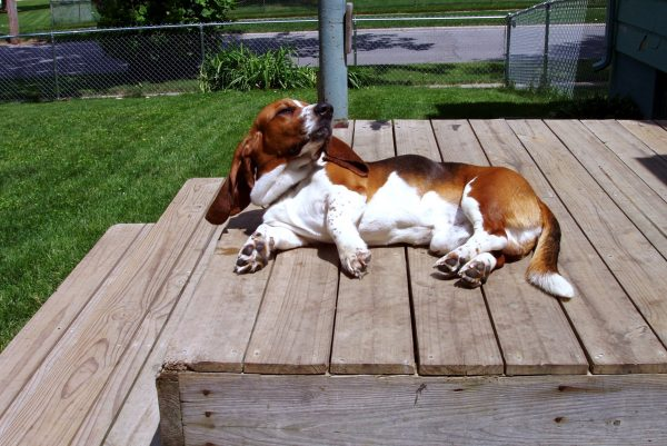 Basset on deck