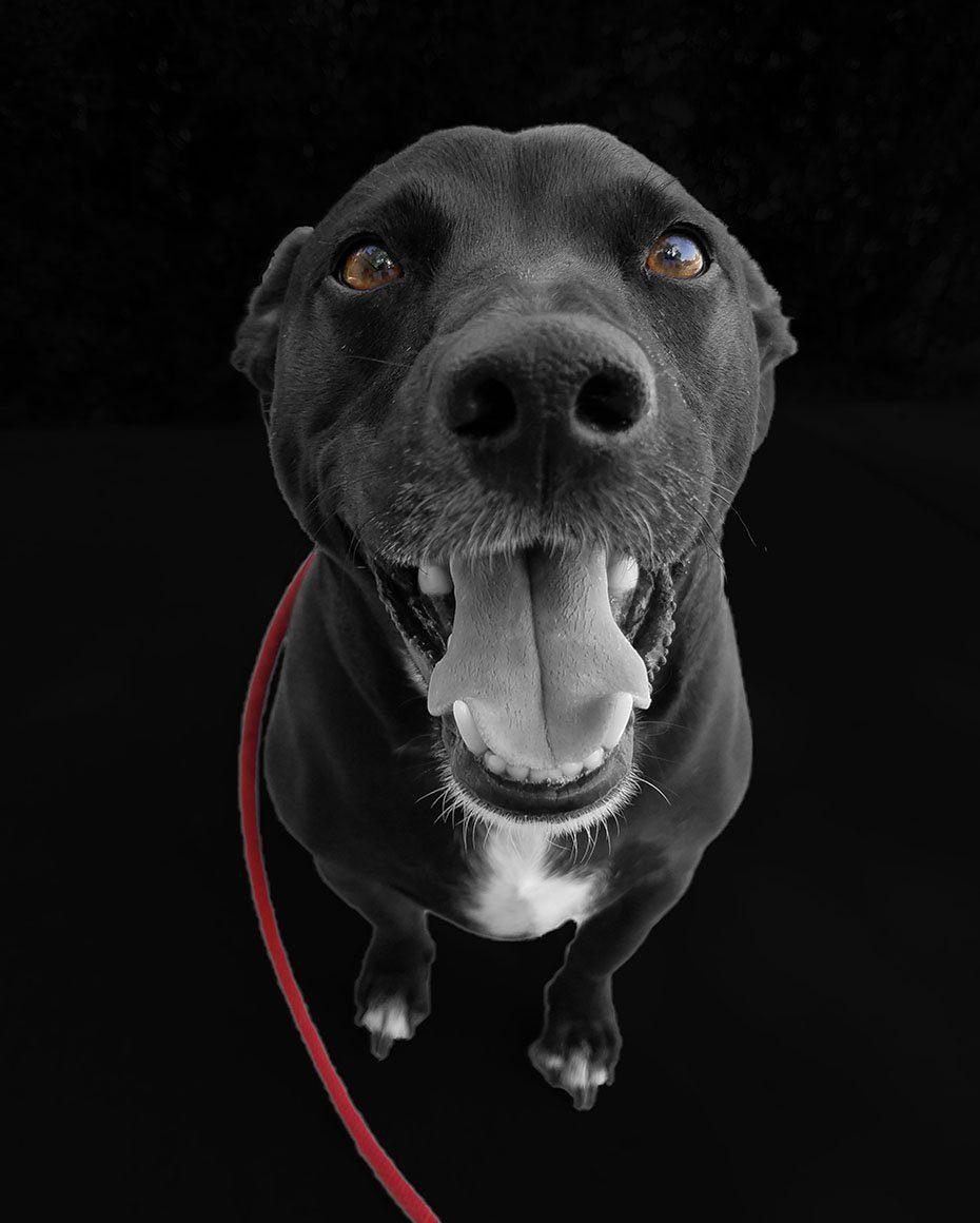 Black dog red leash