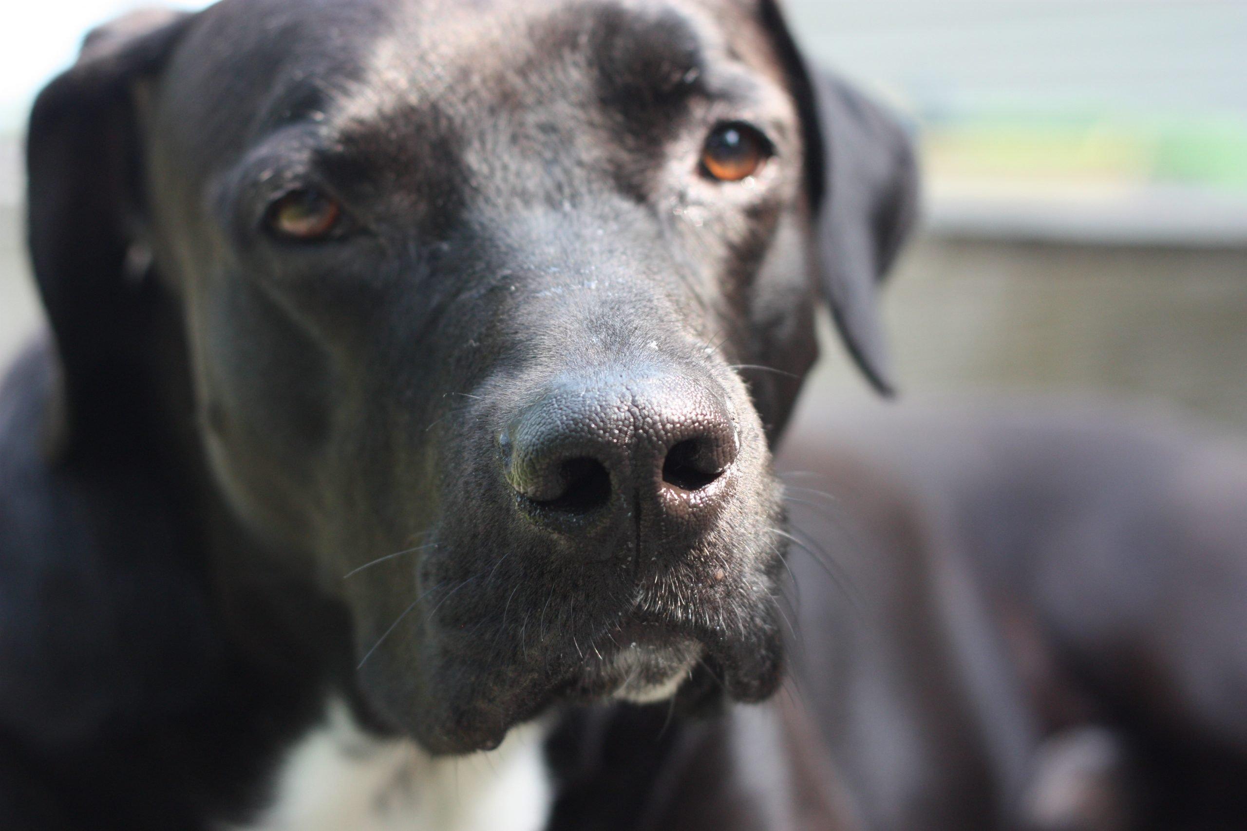 Black Labrador close up